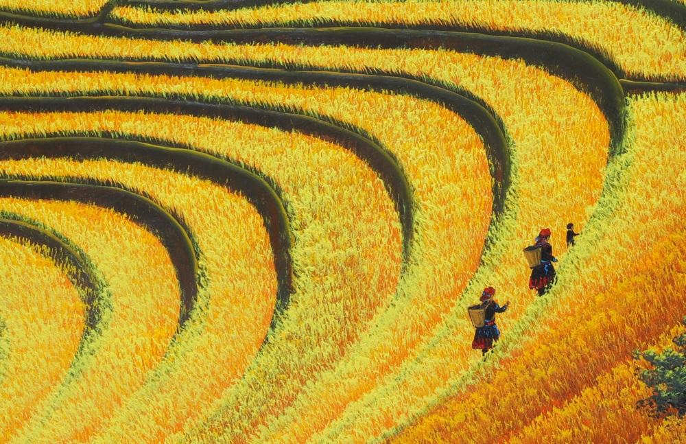 Người phụ nữ vùng cao lên nương mùa lúa chín