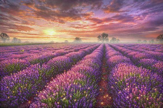 tranh hoa oải hương